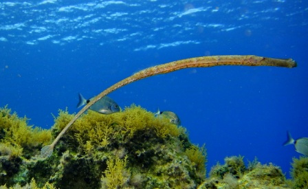 DSC02113-1 Pipefish syngnathus typhle or arcus compressed web