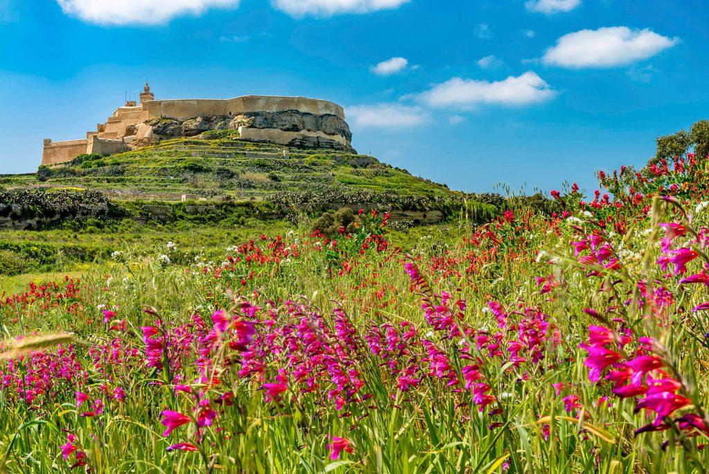Field Gladiolus (Ħabb il-Qamħ)