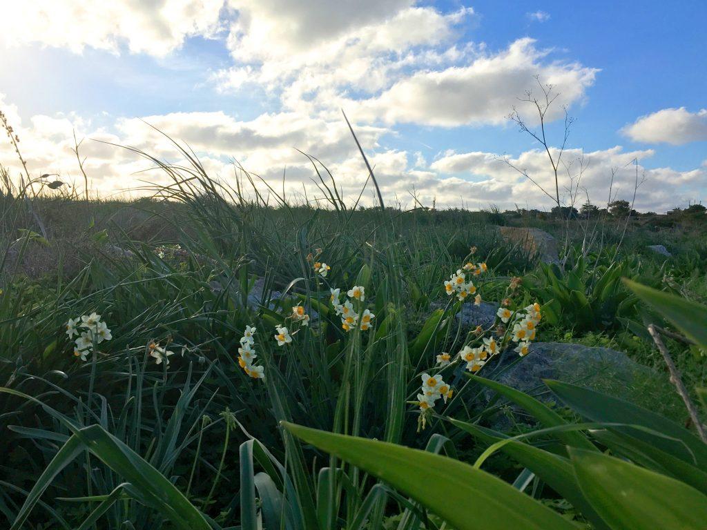 French Daffodil (Narċis)