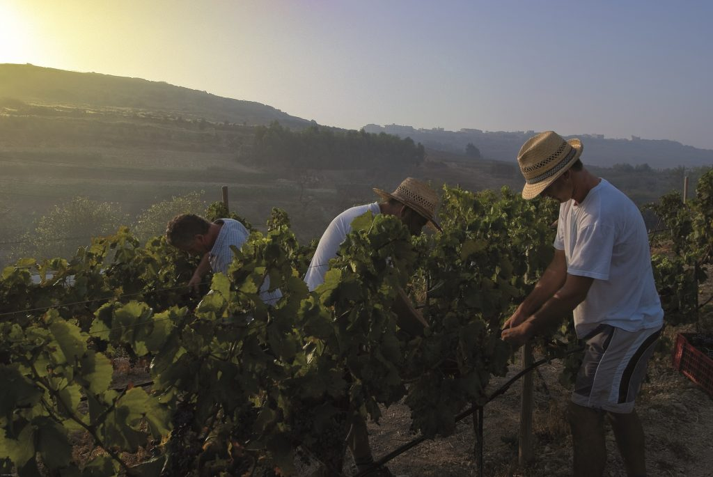 Gozitan farmers tending the vineyards