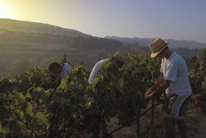 Gozitan farmers tending the vineyards, Gozo Wines