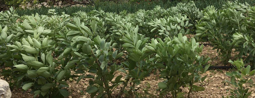 Broad bean plants growing in the fields in Gozo