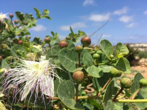 Caper plant growing in the Gozitan countryside