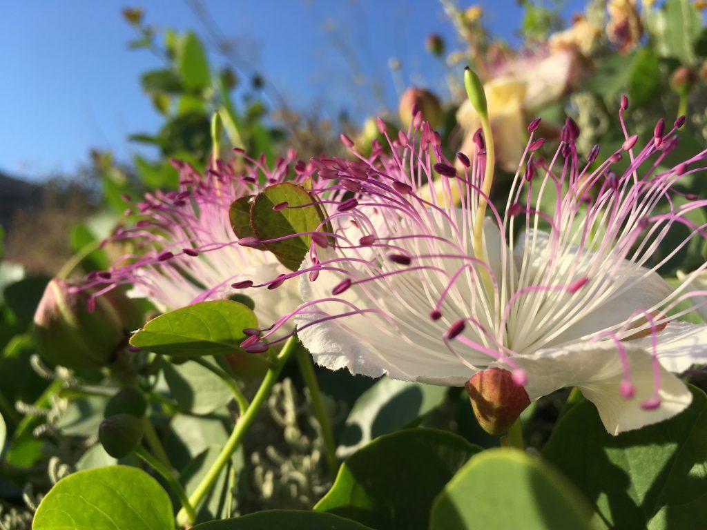 Flowering Caper Plant