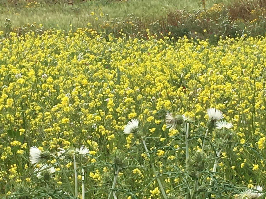 Wild flowers are a source of nectar for bees, gozitan honey