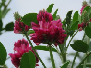 Clover is one of the plants that bees feed on.