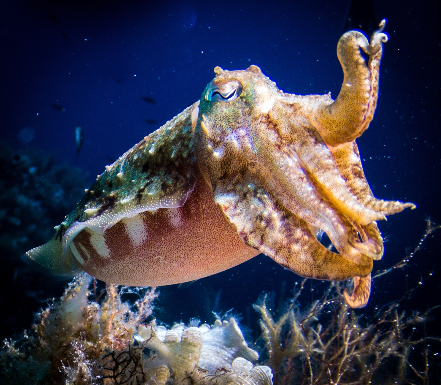 cuttlefish Visit Gozo