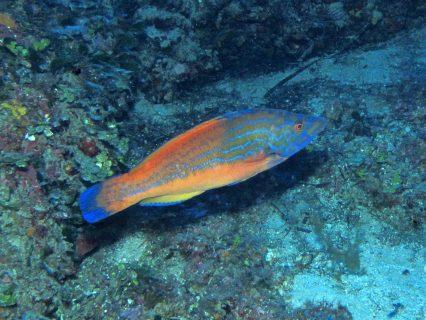 Dawra-tas-Sanap-Gozo-Diving-1-426x320