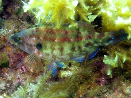 Għar-Qawqla-Gozo-Diving-3-427x320
