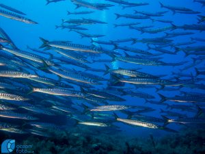 Barracuda shoals. Photo credit: Pete Bullen at Oceanfoto